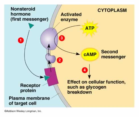 Protein hormones The Endocrine System: Function and Structure