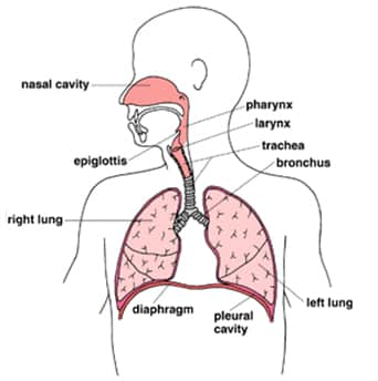 Respiratory System The Respiratory System: Structure and Function