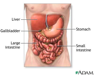 digest The Digestive System: Function and Structure
