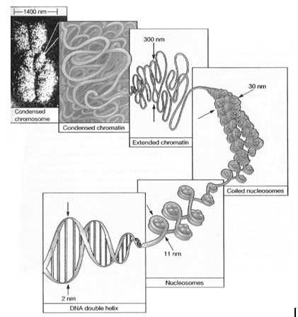 dna double helix Dna: Structure and Function