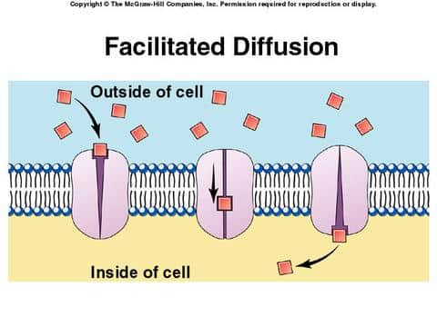 faciliated diffusion Facilitated Diffusion & Active Transport