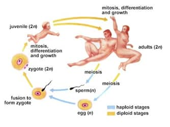 process of meiosis and fertilization relationship