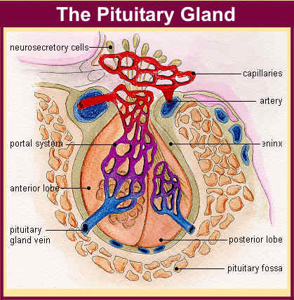 pituitary gland The Endocrine System: Function and Structure