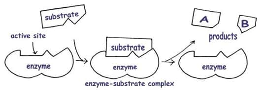 structure and function of enzymes essay examples
