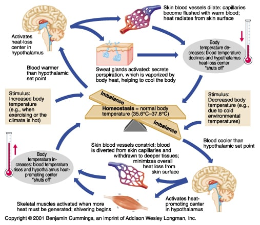 Description of how Hypothalamus Preserves Thermoregulation (SP)