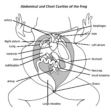 cavity frog Frog Dissection: Background & Urogenital System