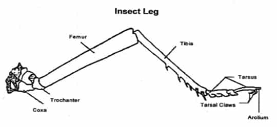 Grasshopper leg diagram - photo#1