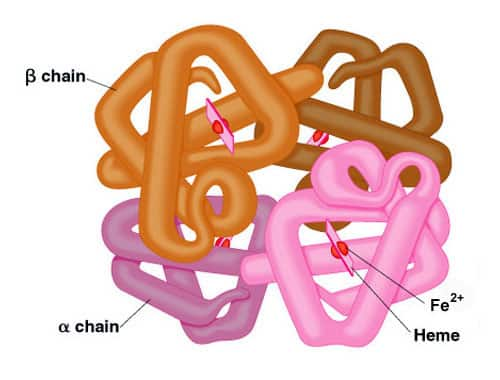 hemoglobin Protein Structures: Primary, Secondary, Tertiary, Quaternary