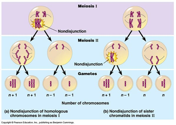 meiosis and mitosis. Repair during Meiosis.