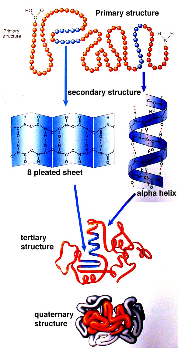 protein structure Protein Structures: Primary, Secondary, Tertiary, Quaternary
