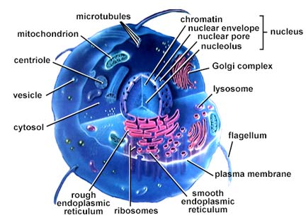 organelles in animal cell. Cytoskeleton: Helps cell