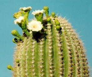 saguaro cactus  Venus Fly Trap & Saguaro Cactus