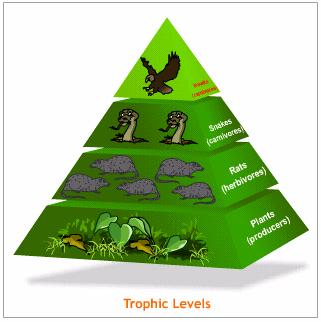 Energy movement in ecosystems trophic energy pyramid