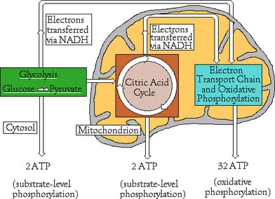 Biology the miracle of life cellular respiration oxidative this is because as can be seen from the overall diagram of cellular respiration on the right the nadhs that are produced during ccuart Gallery