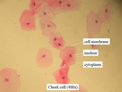 cheekcell Plant & Animal Cells Staining Lab Answers