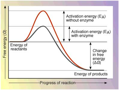 activation energy How does Enzyme Catalysis Work