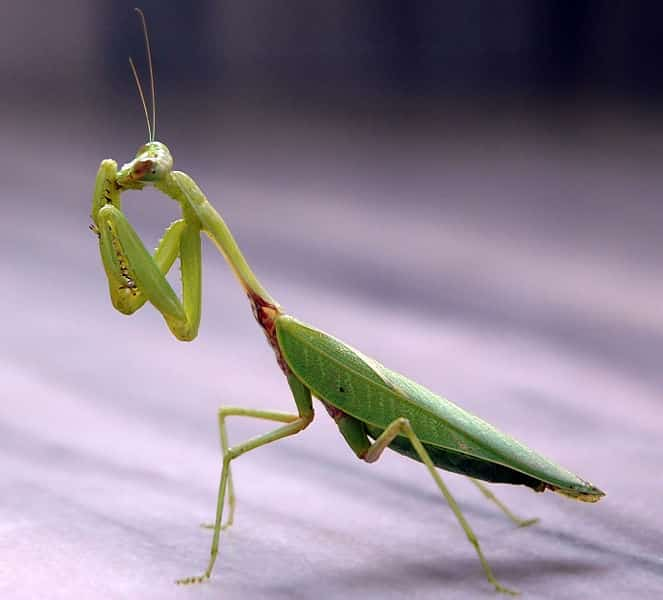 Praying Mantis 1 Praying Mantis: Class, Characteristics, Reproduction