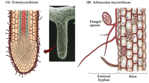ectomycorrhizae and endomycorrhizae relationship