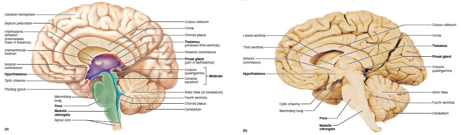 epithalamus diagram - photo #4