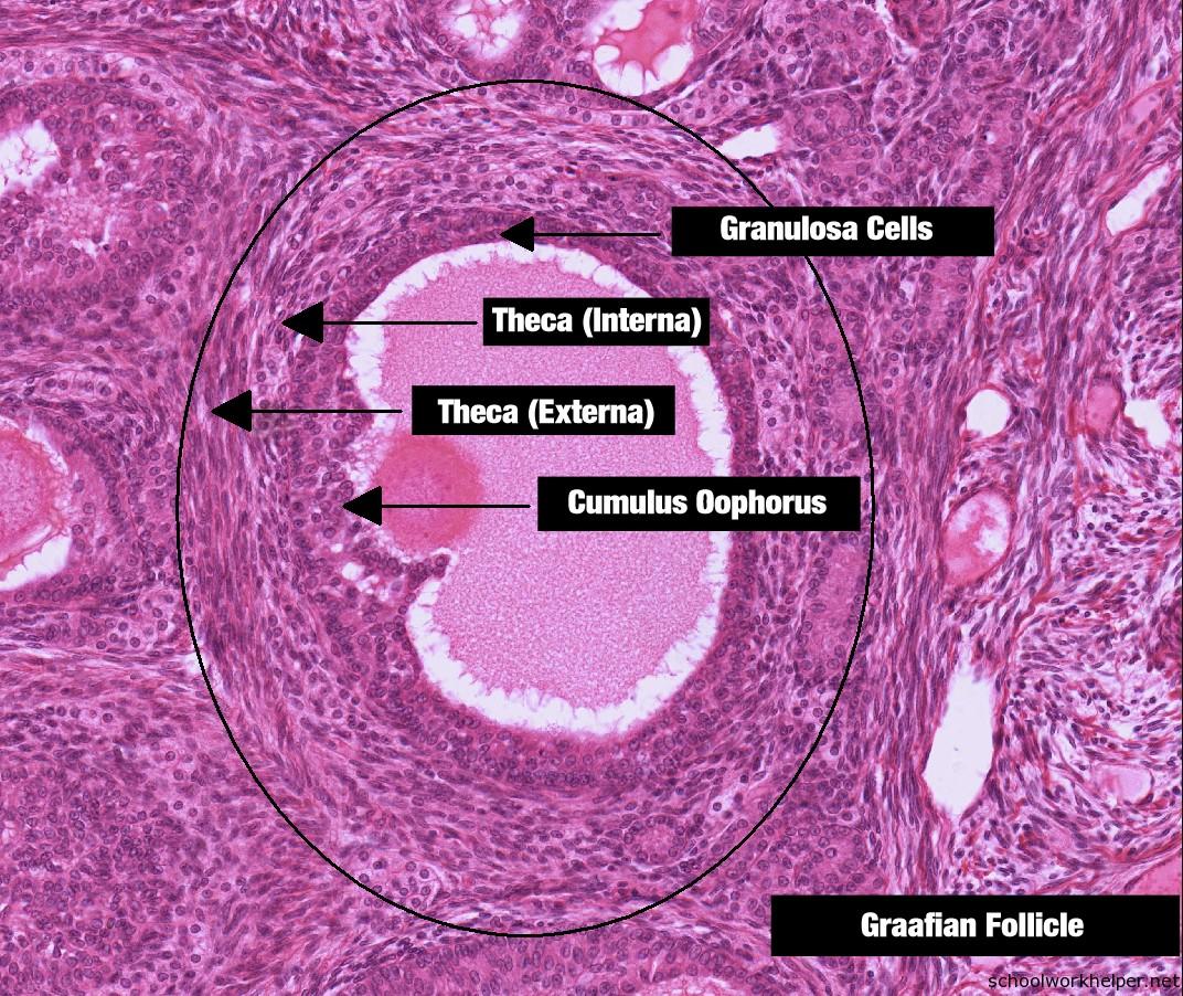 ovary-2-slide-labelled-histology | Online Homework Help ...