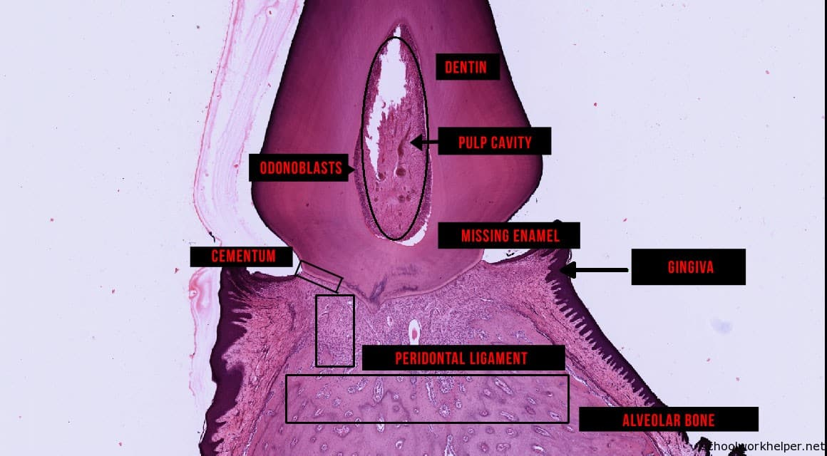 tooth-slide-labelled-histology