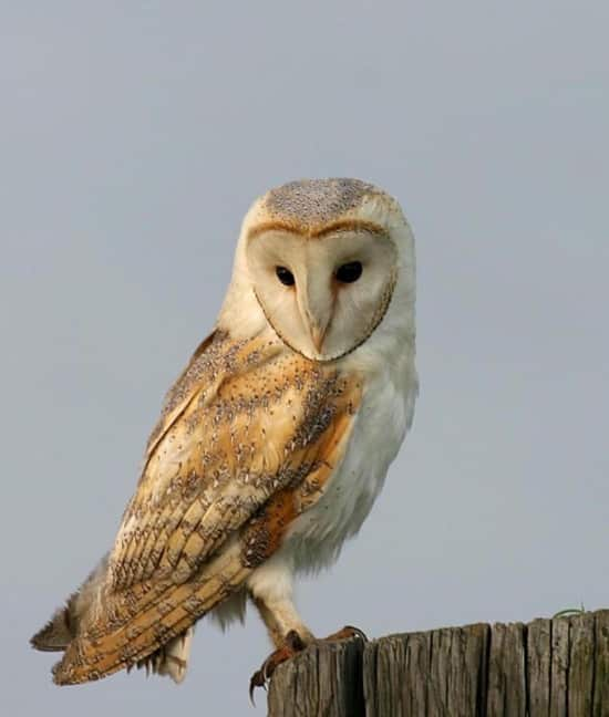 barn owls - photo #28