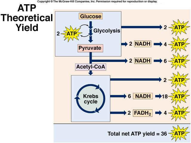 Cellular Respiration Glycolysis Pyruvate Kerbs Etc