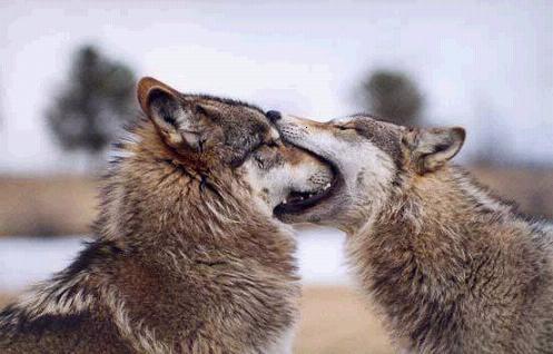 Wolves Habitat Characteristics Behaviors Schoolworkhelper