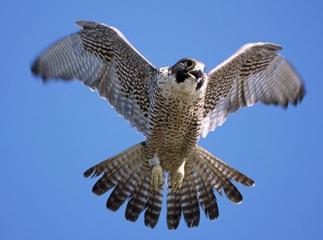 Peregrine Falcon Species Amp Overview Schoolworkhelper