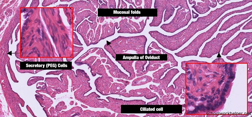 fallopian-tube-slide-labelled-histology | SchoolWorkHelper