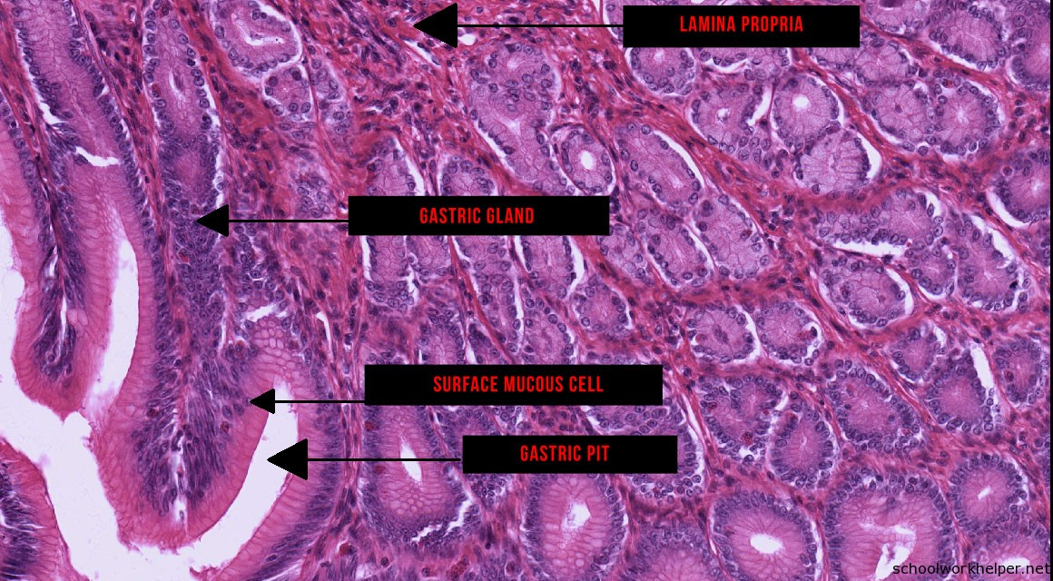 stomach-1-slide-labelled-histology | SchoolWorkHelper