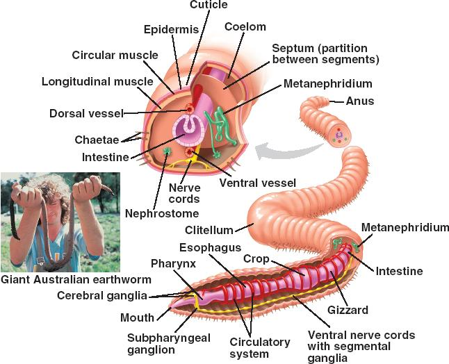 Human Intestinal Worms Symptoms, Pictures, Treatment