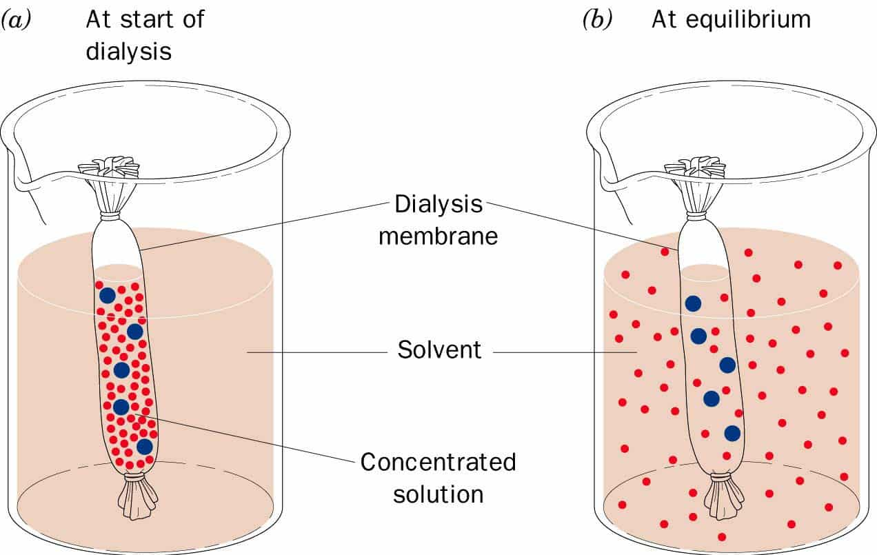 a report on the hypothesis on the permeability of the dialysis tubing to glucose iodine and water bu Investigation of diffusion and osmosis submerge it in a beaker full of water and iodine solution dialysis tubing 125mm glucose/starch solution 10 -15ml.